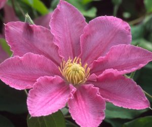 A pink clematis with yellow anthers