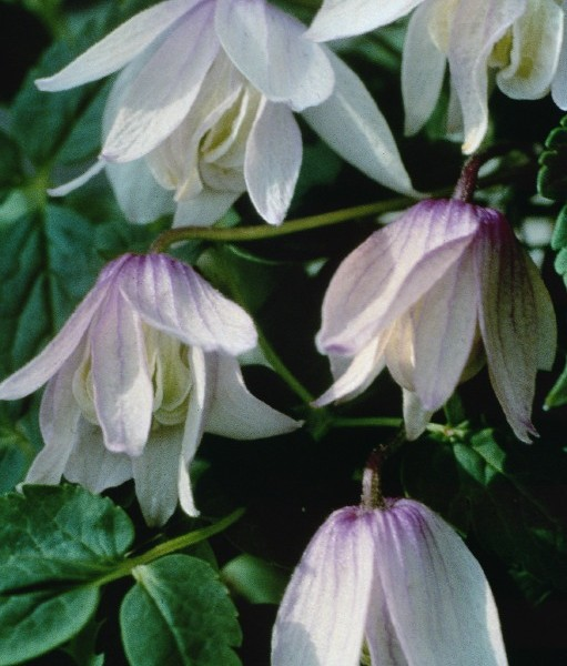 A pale pink clematis with red veins
