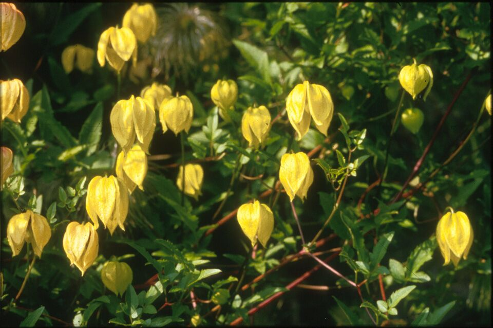 A yellow bell shaped clematis