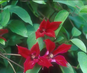 A deep red clematis with reddish brown anthers