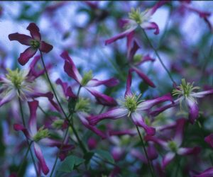 A starlike clematis with pink edges and cream-colored anthers