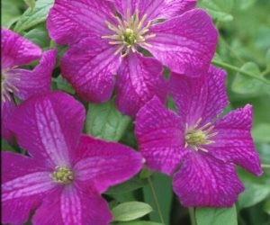 A pink/purple clematis with yellow anthers