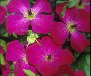 A carmine colored clematis with dark anthers