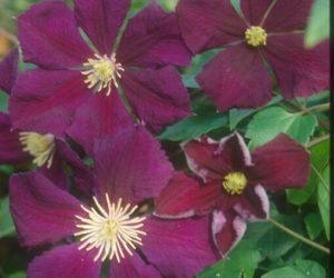 A purple clematis