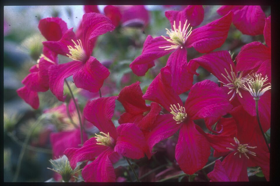 A true red clematis