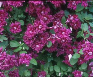 A double rose-purple clematis