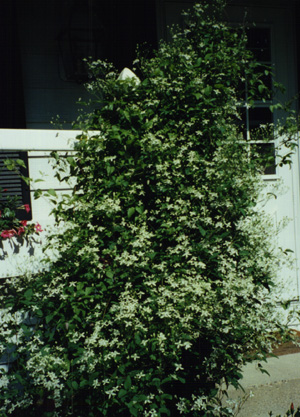 A bush clematis with small white flowers