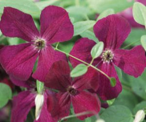 A deep velvety purple clematis