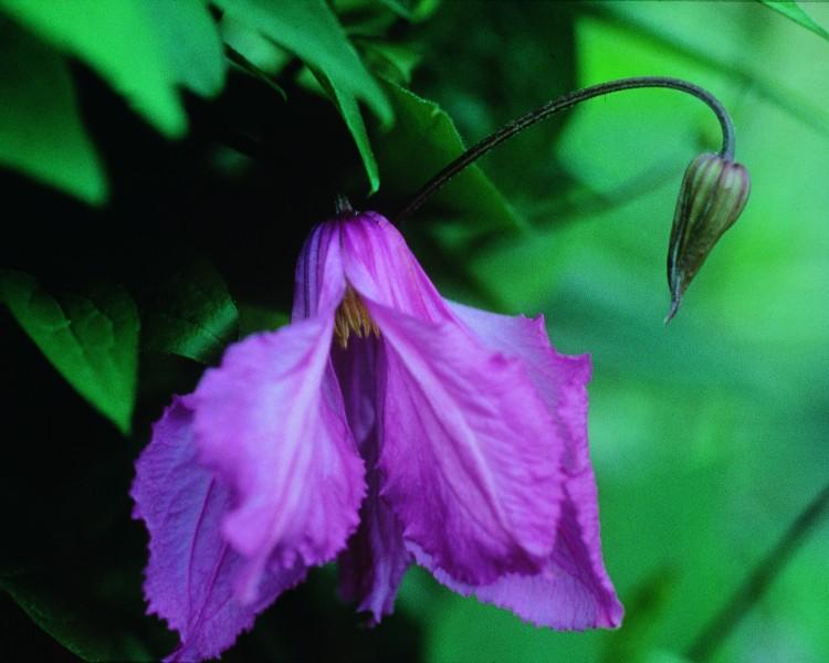 A mauve pink semi-nodding clematis