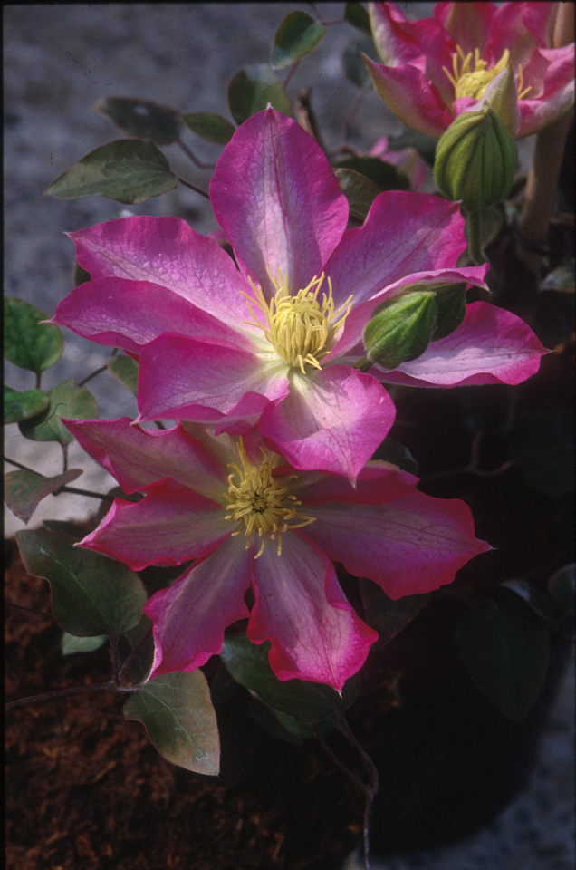A deep rosy pink clematis with a white center bar