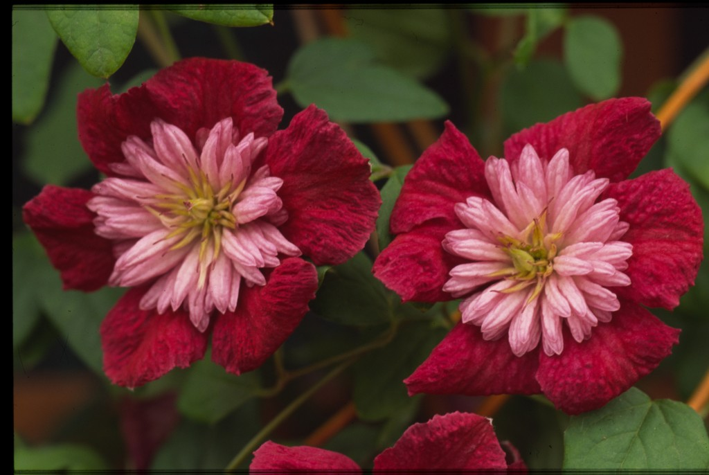 A red clematis with pink petaloid stamens