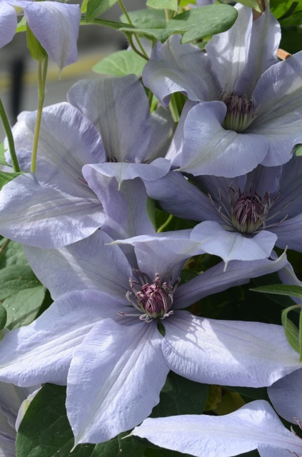 A light blue clematis with red anthers