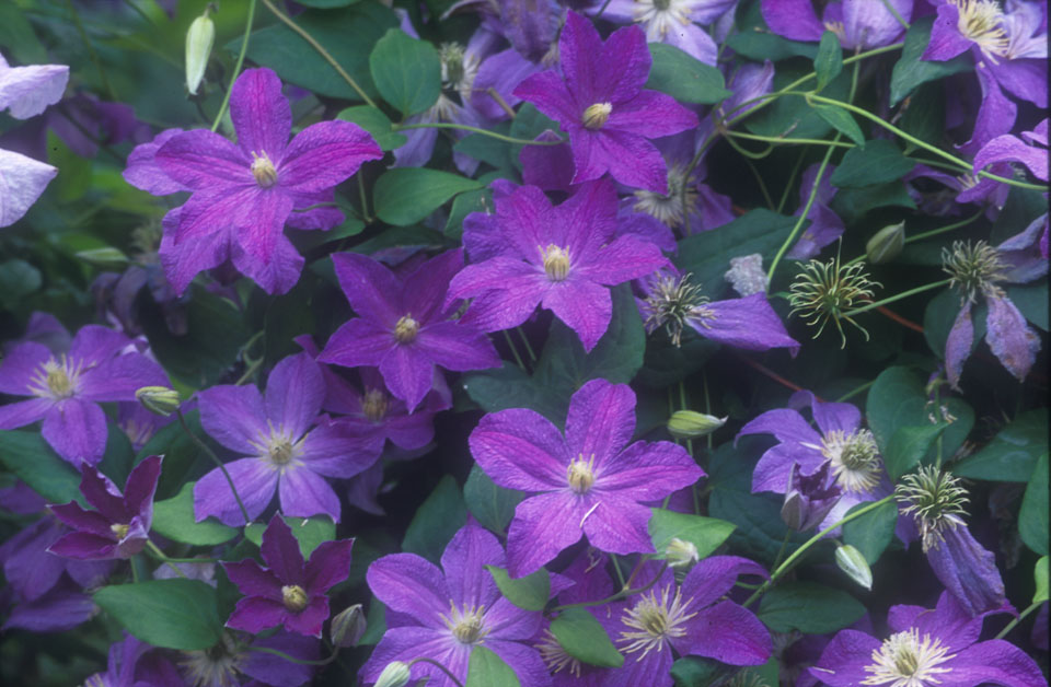 A mauve/blue clematis with pale yellow anthers