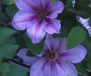 A two toned lavender and pink striped clematis