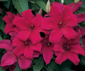 A crimson clematis with dark anthers