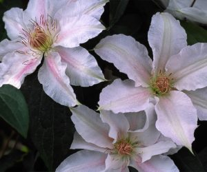 A pale pink clematis with a deeper pink central bar that fades to white
