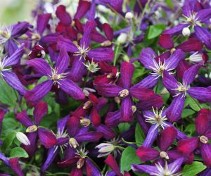A multi-colored cranberry & violet clematis