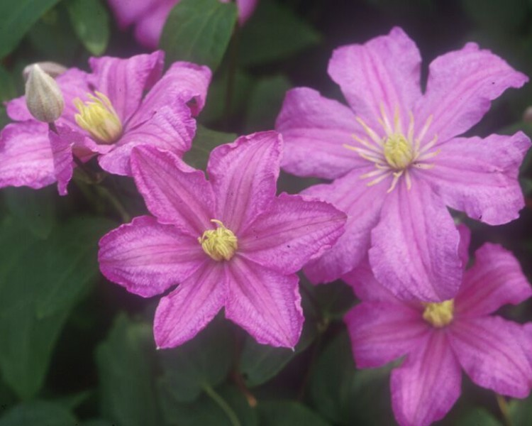 A velvet rose pink clematis with yellow anthers