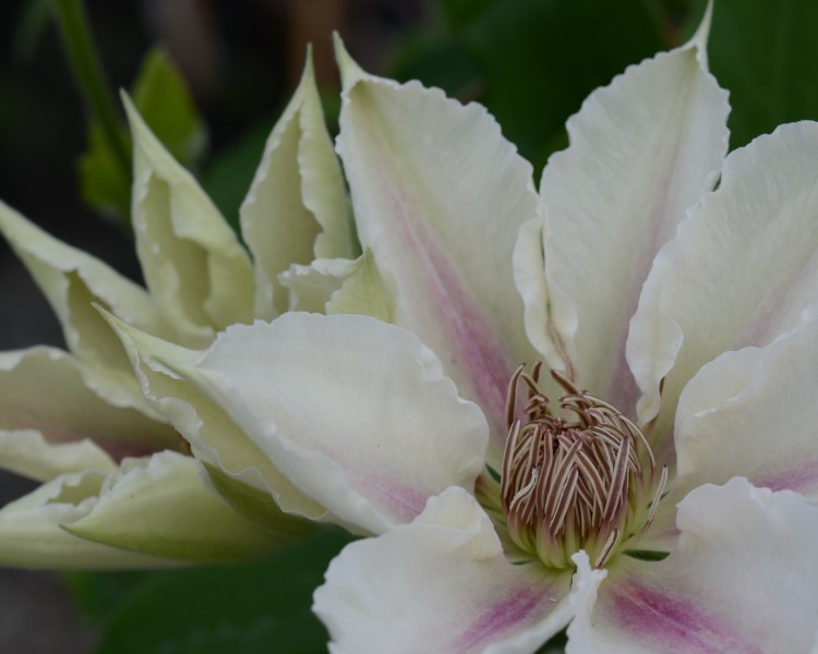 A white clematis with a pink/violet stripe