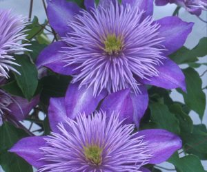 A lilac blue clematis with a fountain like center