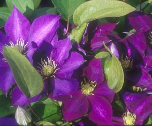 a deep purple clematis with lighter markings down the middle