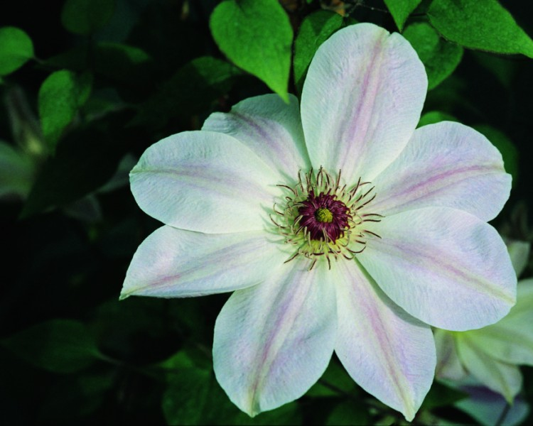 A pearly white/pink clematis