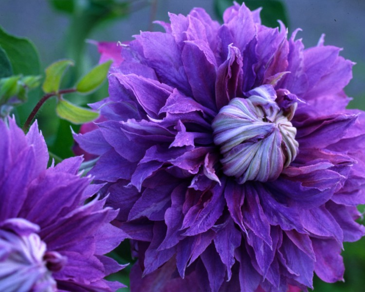 A pom-pom like clematis that is blue/purple