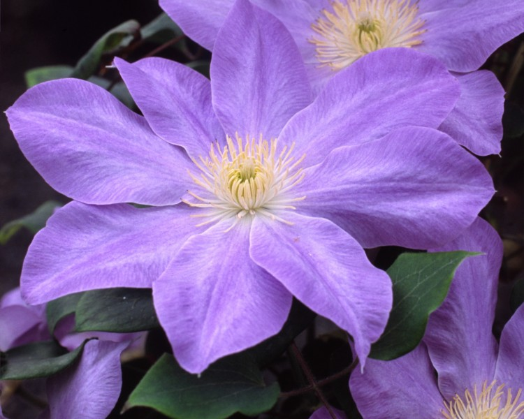 A rich blue clematis with creamy yellow anthers