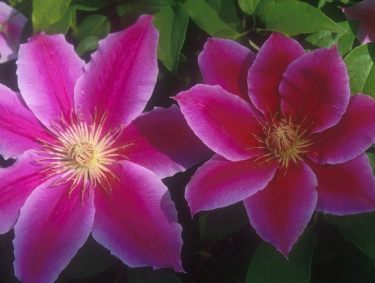 A pink lavender clematis with a deep red center bar