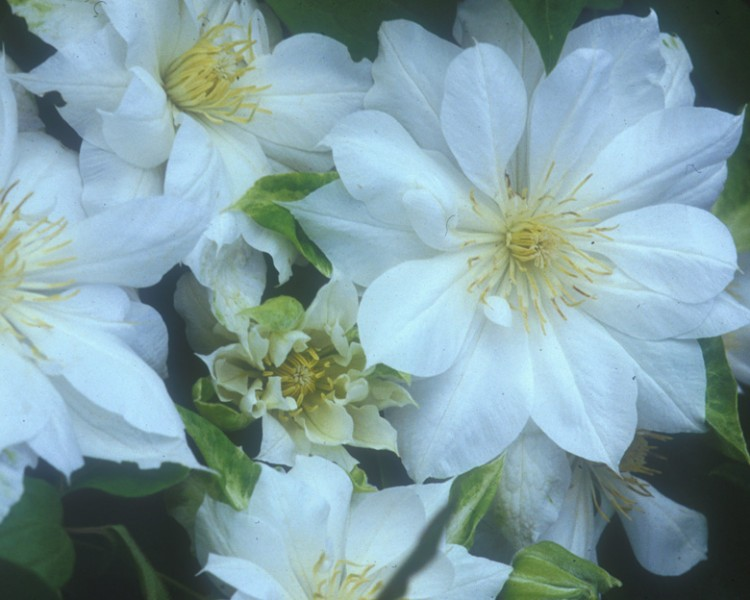 A double white clematis with yellow anthers