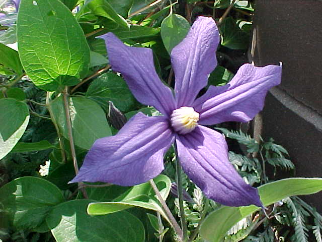 A bell-shaped indigo blue clematis with white anthers