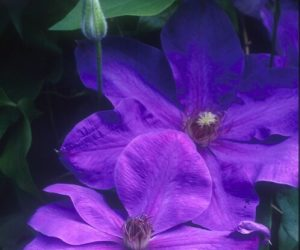 A rich lavender clematis with red anthers
