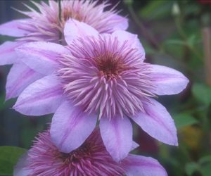 A clematis with pink outer petals and inner petals that produce a pom-pom effect