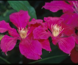 A magenta-red clematis with gold anthers