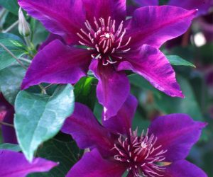 A deep purple clematis with a flower center