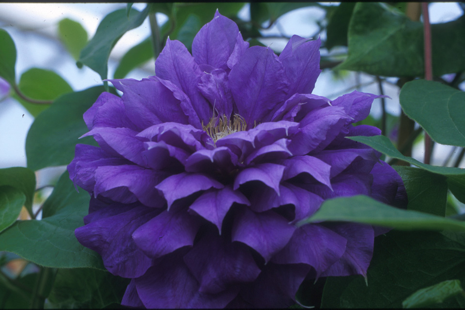A blue-purple clematis with yellow anthers