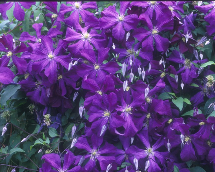A purple clematis with yellow anthers