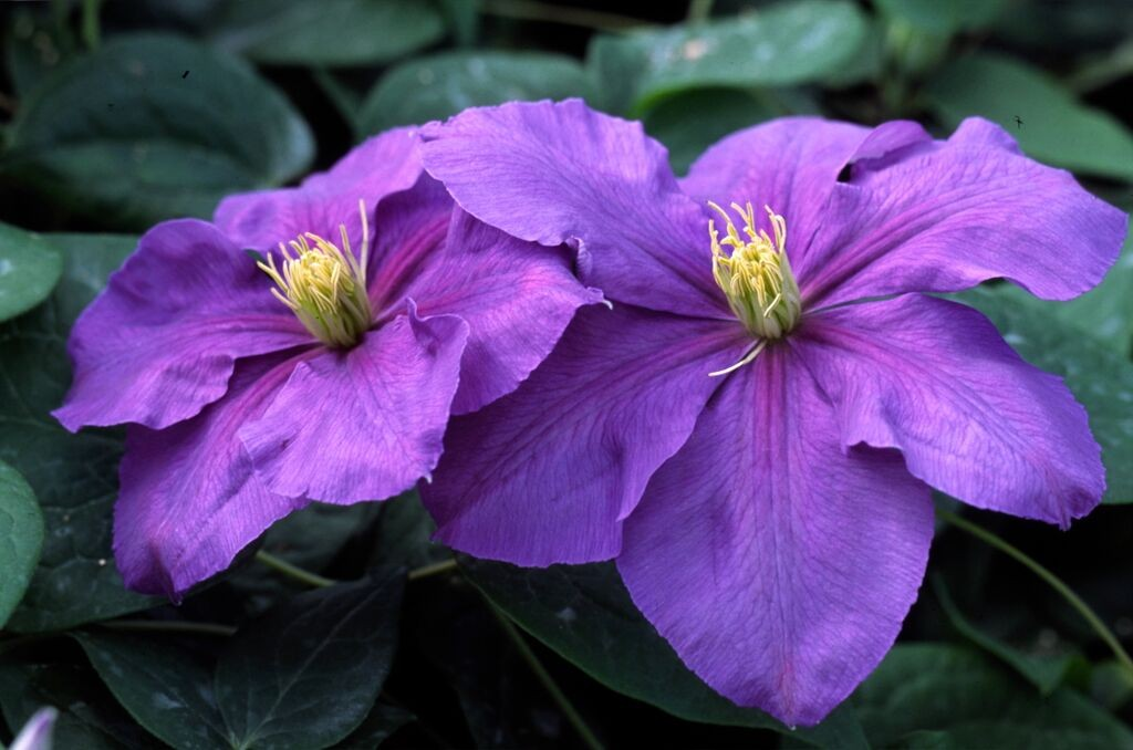 A dark lavender clematis with tints of red