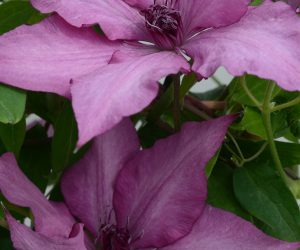 A dusky purple pink clematis with red-purple anthers