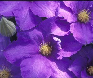 A true mid-blue clematis with cream colored anthers