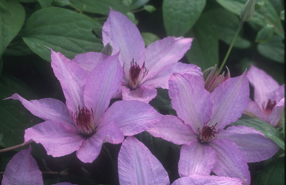 A rich pink clematis with reddish anthers