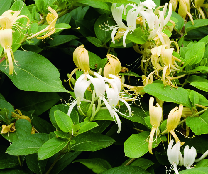 A white vine that turns yellow as it ages with evergreen foliage