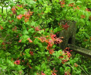 A scarlet/orange vine