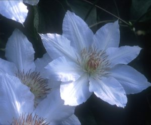 An off-white clematis with sometime green or pink tinges whose anthers are light chocolate brown