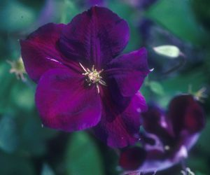 A rich velvet purple clematis