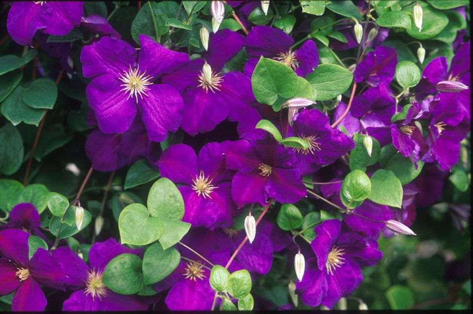A dark purple clematis