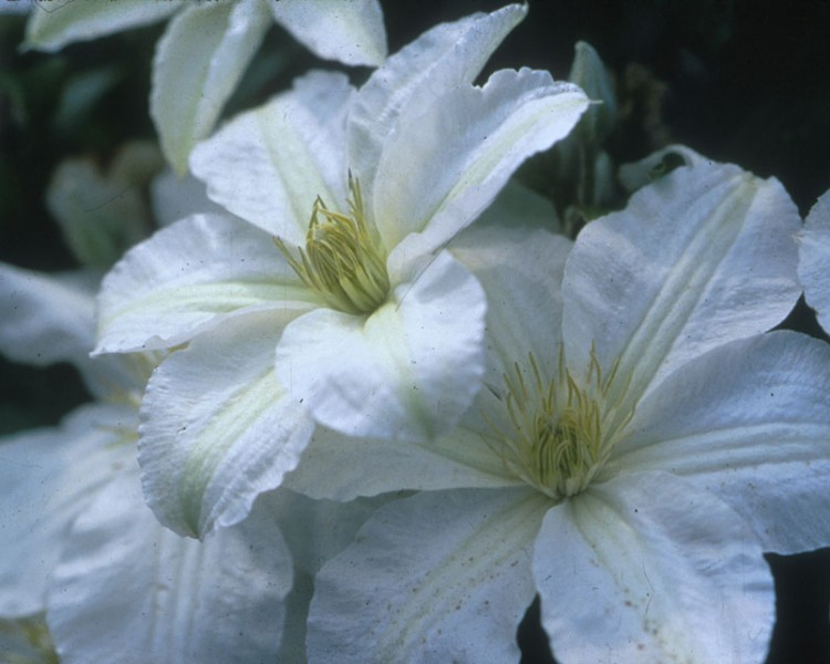 A creamy white clematis with yellow-white anthers