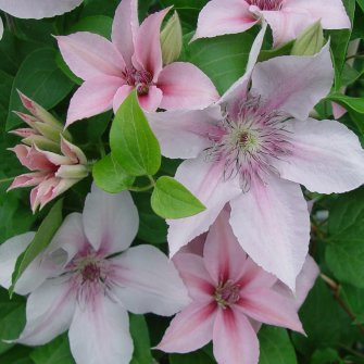 A light pink clematis