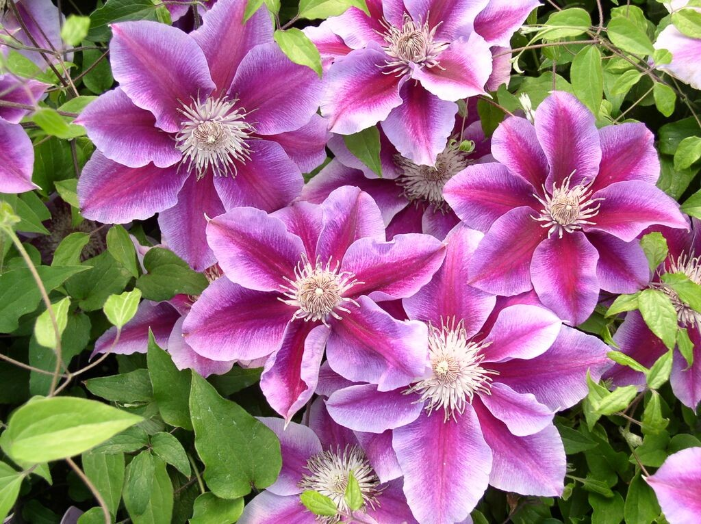 A rube red clematis that fades to fuchsia and then orchid color at the edge of the petals