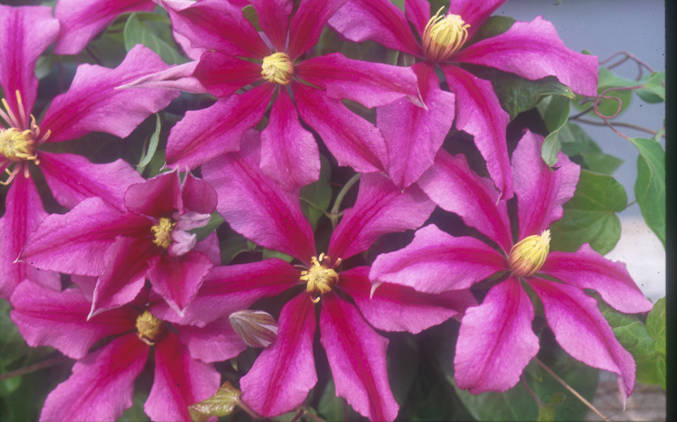 A deep pink clematis with a cerise central bar and yellow anthers